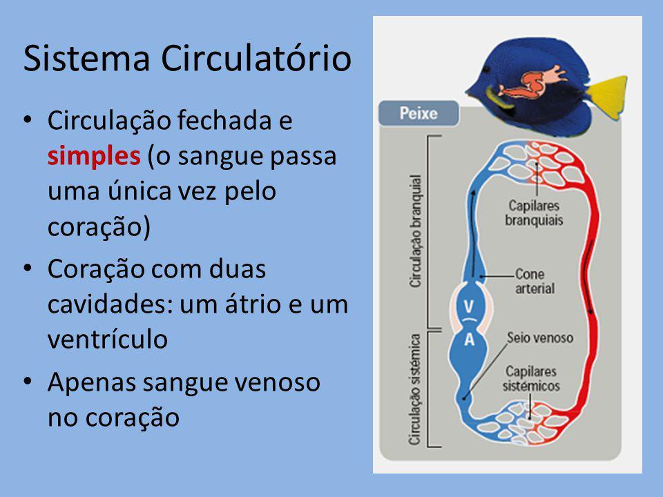 Sistema Circulatório Circulação fechada e simples (o sangue passa uma única vez pelo coração) Coração com duas cavidades: um átrio e um ventrículo Ape