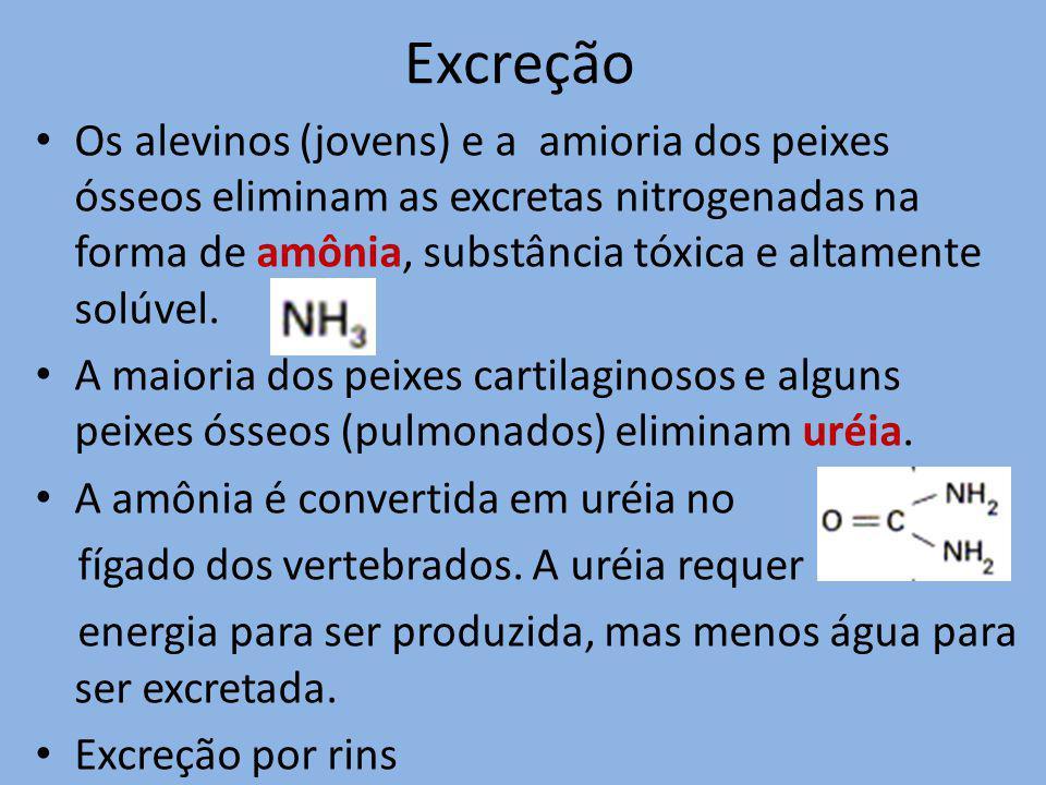 Excreção Os alevinos (jovens) e a amioria dos peixes ósseos eliminam as excretas nitrogenadas na forma de amônia, substância tóxica e altamente solúve