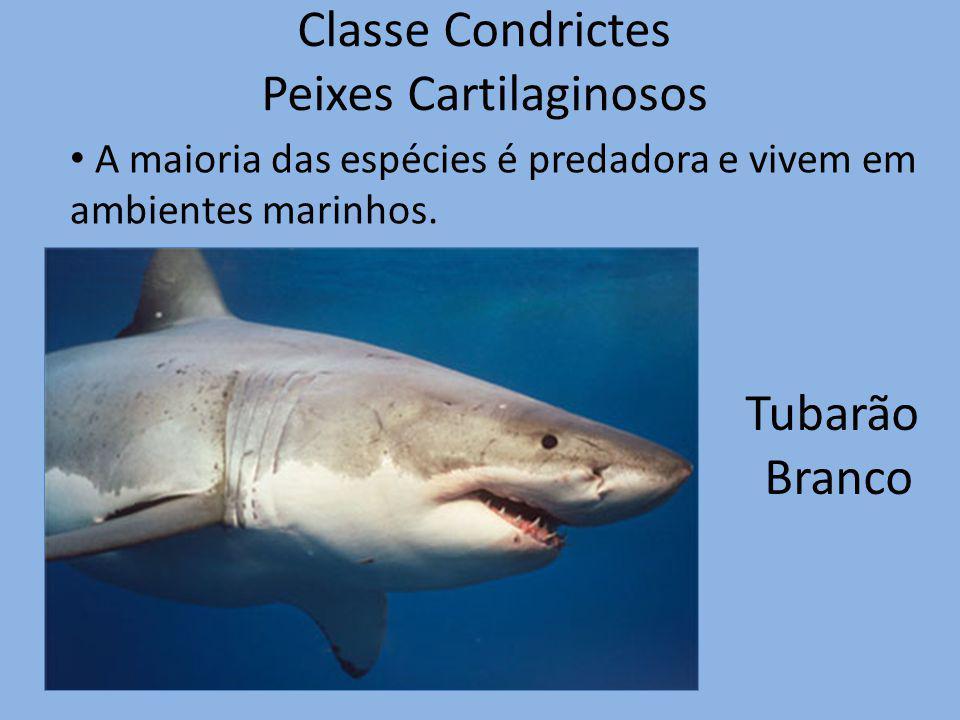 Classe Condrictes Peixes Cartilaginosos Tubarão Branco A maioria das espécies é predadora e vivem em ambientes marinhos.