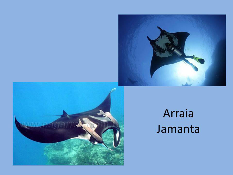 Arraia Jamanta