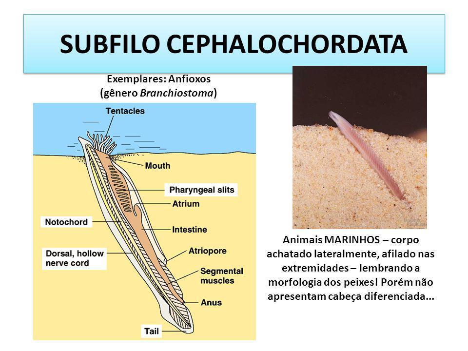 SUBFILO CEPHALOCHORDATA Animais MARINHOS – corpo achatado lateralmente, afilado nas extremidades – lembrando a morfologia dos peixes! Porém não aprese