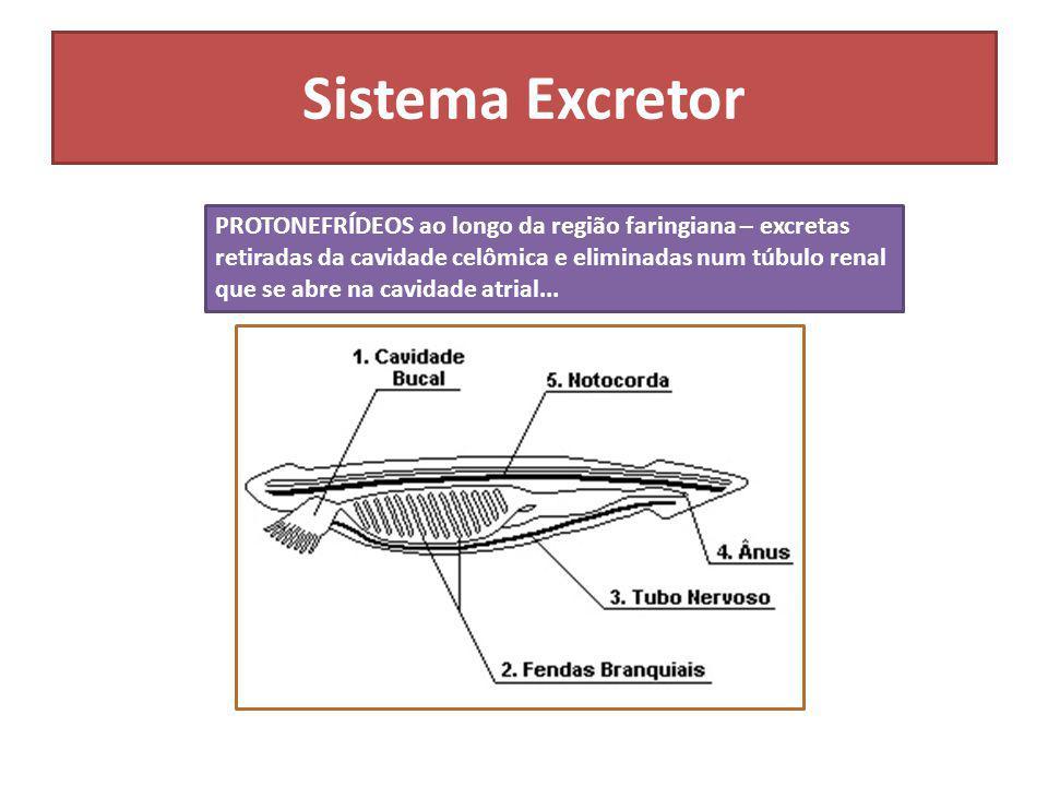 Sistema Excretor PROTONEFRÍDEOS ao longo da região faringiana – excretas retiradas da cavidade celômica e eliminadas num túbulo renal que se abre na c