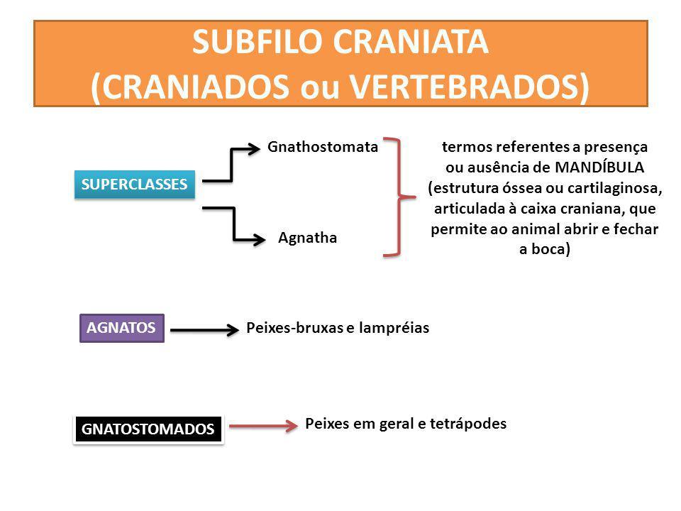 SUBFILO CRANIATA (CRANIADOS ou VERTEBRADOS) SUPERCLASSES Gnathostomata Agnatha termos referentes a presença ou ausência de MANDÍBULA (estrutura óssea