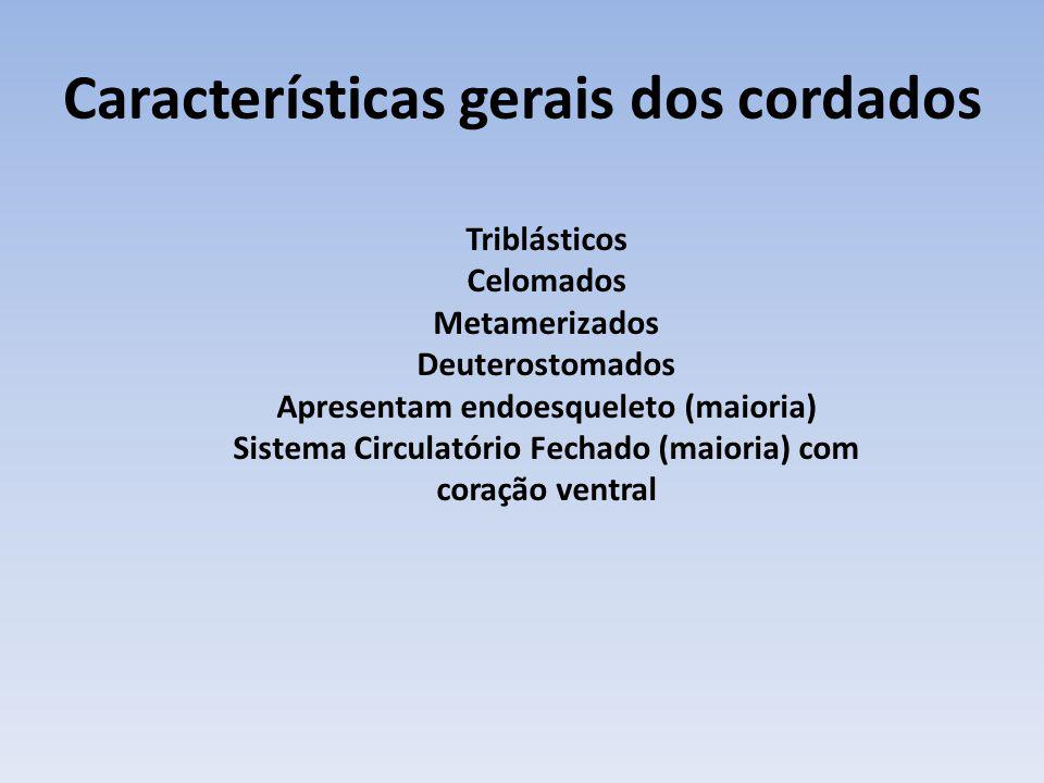 Características gerais dos cordados Triblásticos Celomados Metamerizados Deuterostomados Apresentam endoesqueleto (maioria) Sistema Circulatório Fecha