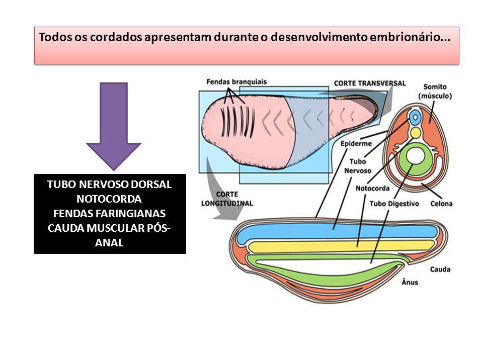 Todos os cordados apresentam durante o desenvolvimento embrionário... TUBO NERVOSO DORSAL NOTOCORDA FENDAS FARINGIANAS CAUDA MUSCULAR PÓS- ANAL