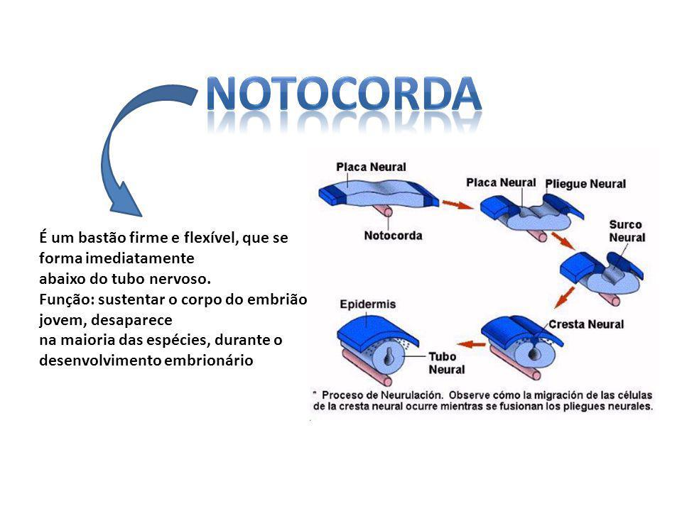 Sistema digestório BOCA rodeada por cílios firmes (cirros) – FARINGE rica em muco e cílios pequenos (endóstilos) – INTESTINO recebe secreções enzimáticas do CECO HEPÁTICO.
