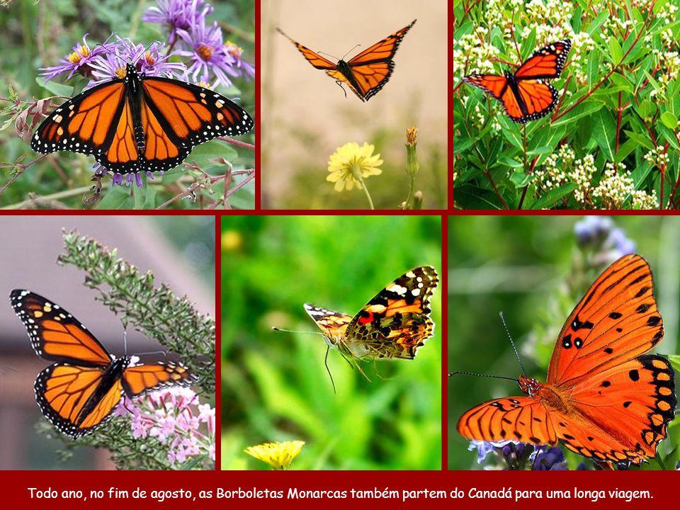 No ano seguinte as borboletas que voltarão serão as bisnetas das que foram.