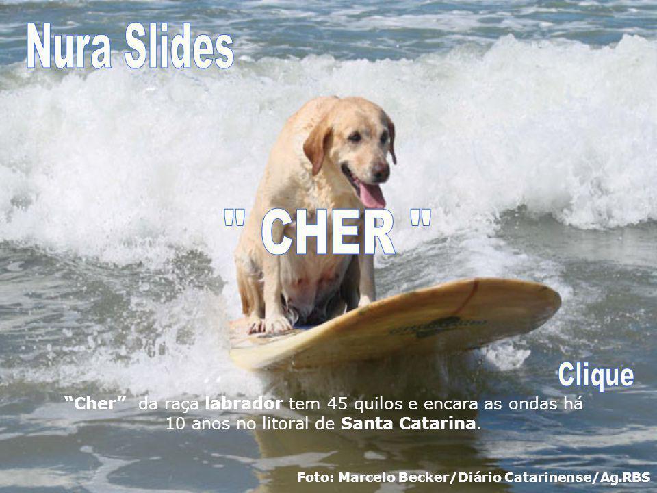 Cher da raça labrador tem 45 quilos e encara as ondas há 10 anos no litoral de Santa Catarina.