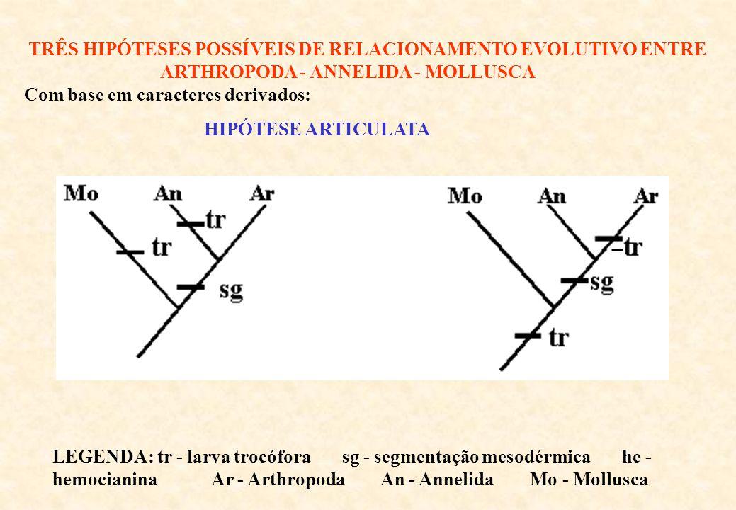 TRÊS HIPÓTESES POSSÍVEIS DE RELACIONAMENTO EVOLUTIVO ENTRE ARTHROPODA - ANNELIDA - MOLLUSCA Com base em caracteres derivados: LEGENDA: tr - larva trocófora sg - segmentação mesodérmica he - hemocianina Ar - Arthropoda An - Annelida Mo - Mollusca HIPÓTESE ARTICULATA