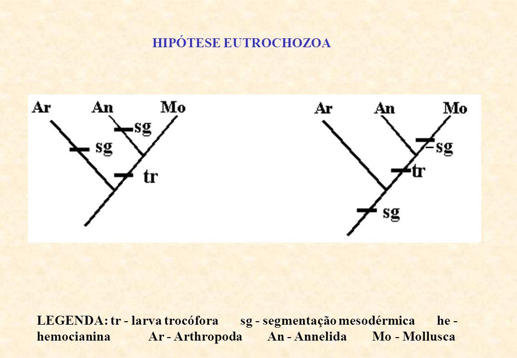 HIPÓTESE HEMOCIANINA LEGENDA: tr - larva trocófora sg - segmentação mesodérmica he - hemocianina Ar - Arthropoda An - Annelida Mo - Mollusca