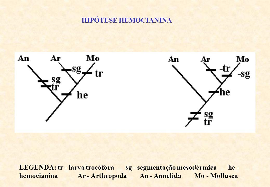 ONYCHOPHORA TARDIGRADA PYCNOGONIDA MEROSTOMATA MEROSTOMATA =XIPHOSURA ARACHNIDA CRUSTACEA MYRIAPODA INSECTA PENTASTOMIDA TRILOBITA MANDIBULATA CHELICERATA EUARTHROPODAPARARTHROPODAPROARTHROPODA ARTHROPODA Cladograma da classificação tradicional de ARTHROPODA (Sem análise cladística)
