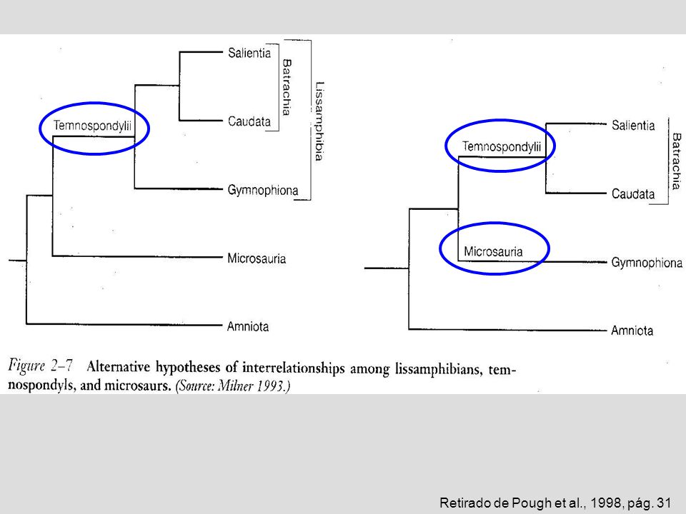 Retirado de Pough et al., 1993, pág. 327 Eryops Cacops Cyclotosaurus Exemplos de Temnospondylii