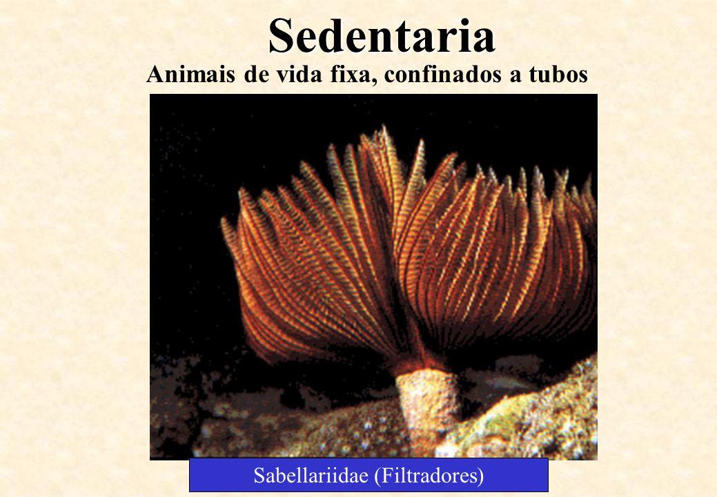 Sedentaria Animais de vida fixa, confinados a tubos Sabellariidae (Filtradores)