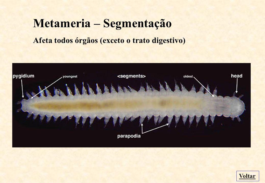 Metameria – Segmentação Afeta todos órgãos (exceto o trato digestivo) Voltar