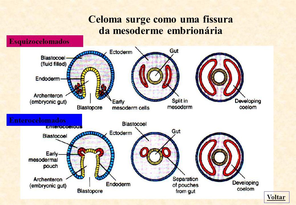 Protostômicos Blastóporo origina a boca Voltar