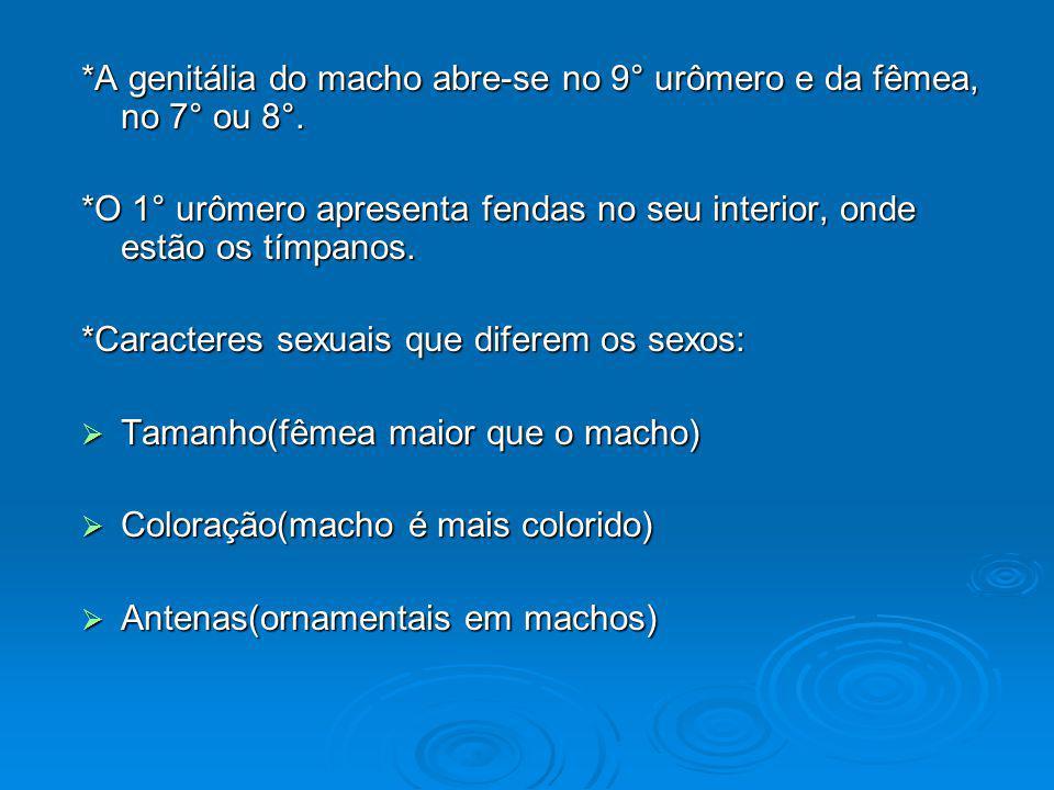 *A genitália do macho abre-se no 9° urômero e da fêmea, no 7° ou 8°. *O 1° urômero apresenta fendas no seu interior, onde estão os tímpanos. *Caracter