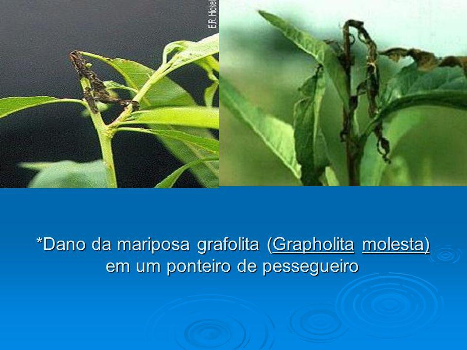 *Dano da mariposa grafolita (Grapholita molesta) em um ponteiro de pessegueiro