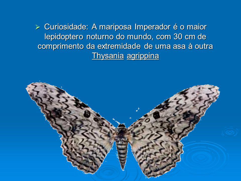Curiosidade: A mariposa Imperador é o maior lepidoptero noturno do mundo, com 30 cm de comprimento da extremidade de uma asa à outra Thysania agrippin