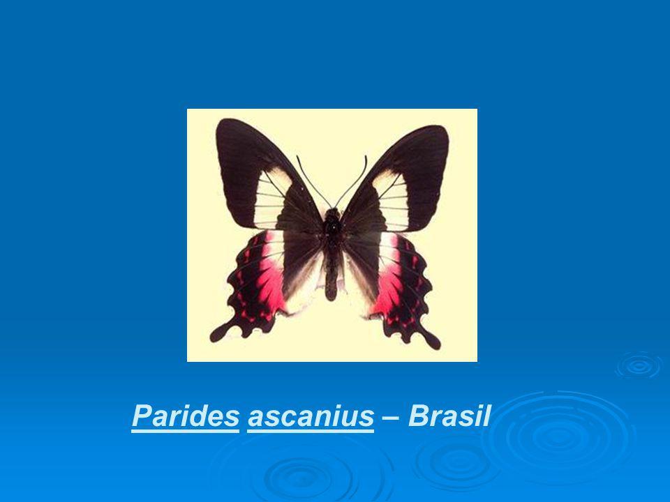 Parides ascanius – Brasil