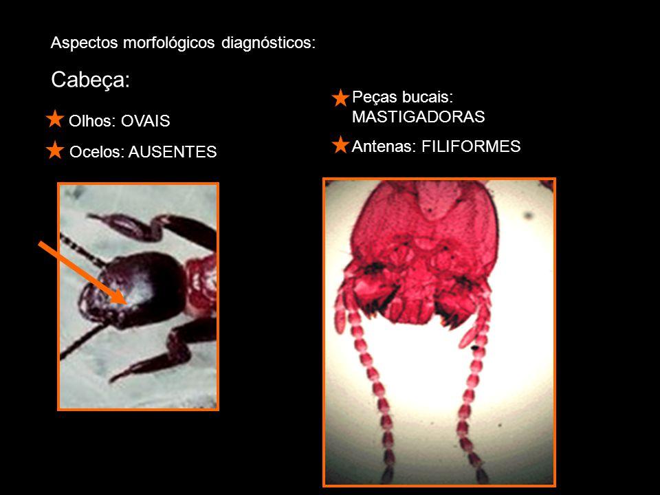 Aspectos morfológicos diagnósticos: Cabeça: Olhos: OVAIS Ocelos: AUSENTES Peças bucais: MASTIGADORAS Antenas: FILIFORMES