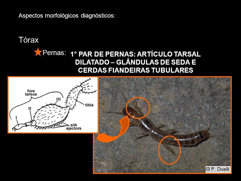 1° PAR DE PERNAS: ARTÍCULO TARSAL DILATADO – GLÂNDULAS DE SEDA E CERDAS FIANDEIRAS TUBULARES Aspectos morfológicos diagnósticos: Tórax Pernas: