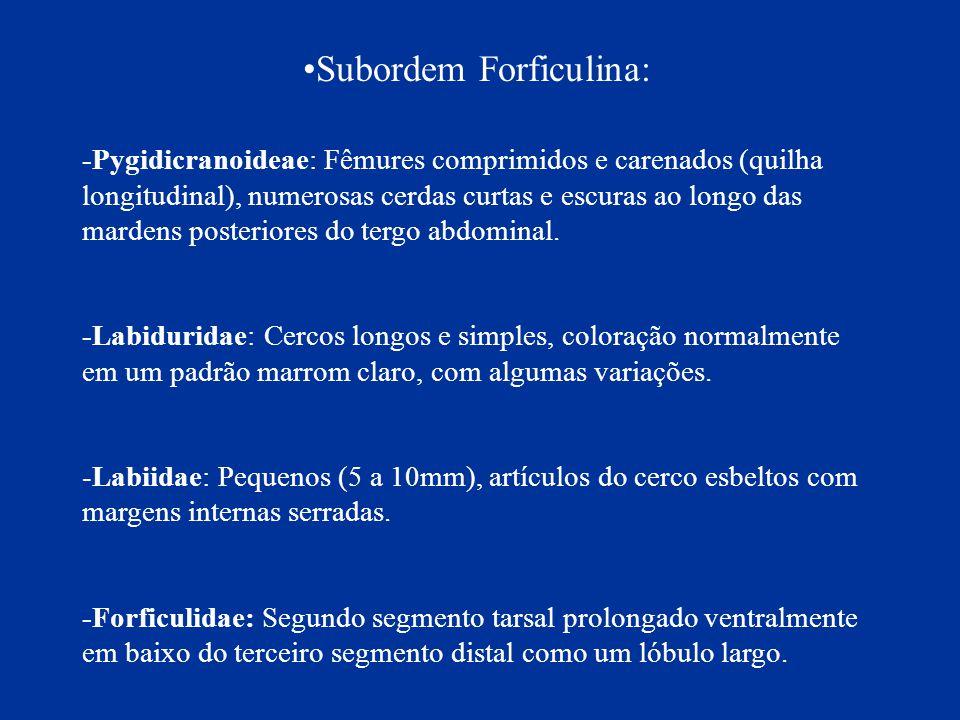 Subordem Forficulina: -Pygidicranoideae: Fêmures comprimidos e carenados (quilha longitudinal), numerosas cerdas curtas e escuras ao longo das mardens
