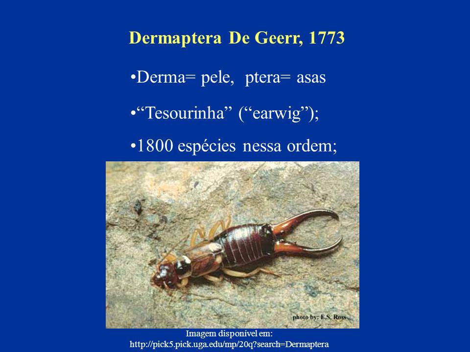 Tesourinha (earwig); 1800 espécies nessa ordem; Dermaptera De Geerr, 1773 Imagem disponível em: http://pick5.pick.uga.edu/mp/20q?search=Dermaptera Der