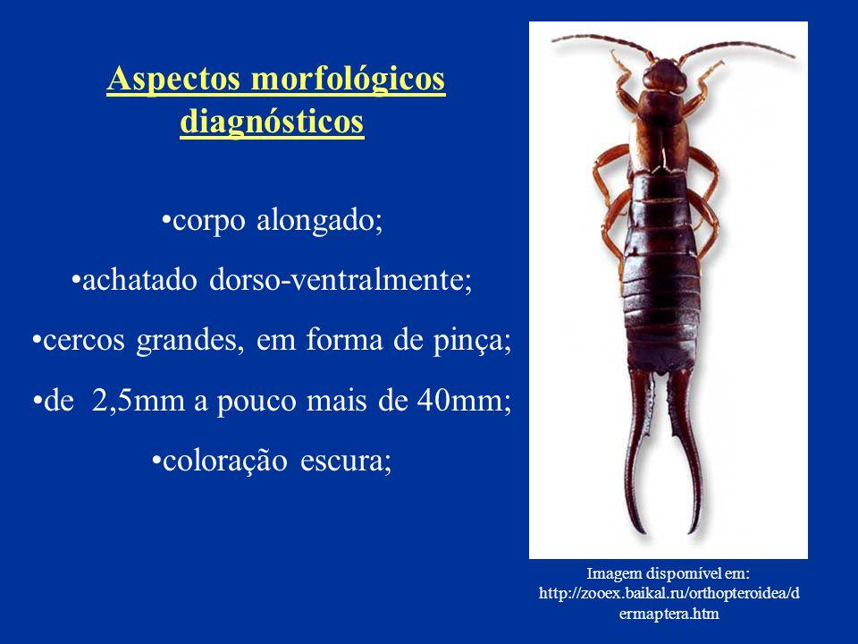 corpo alongado; achatado dorso-ventralmente; cercos grandes, em forma de pinça; de 2,5mm a pouco mais de 40mm; coloração escura; Aspectos morfológicos