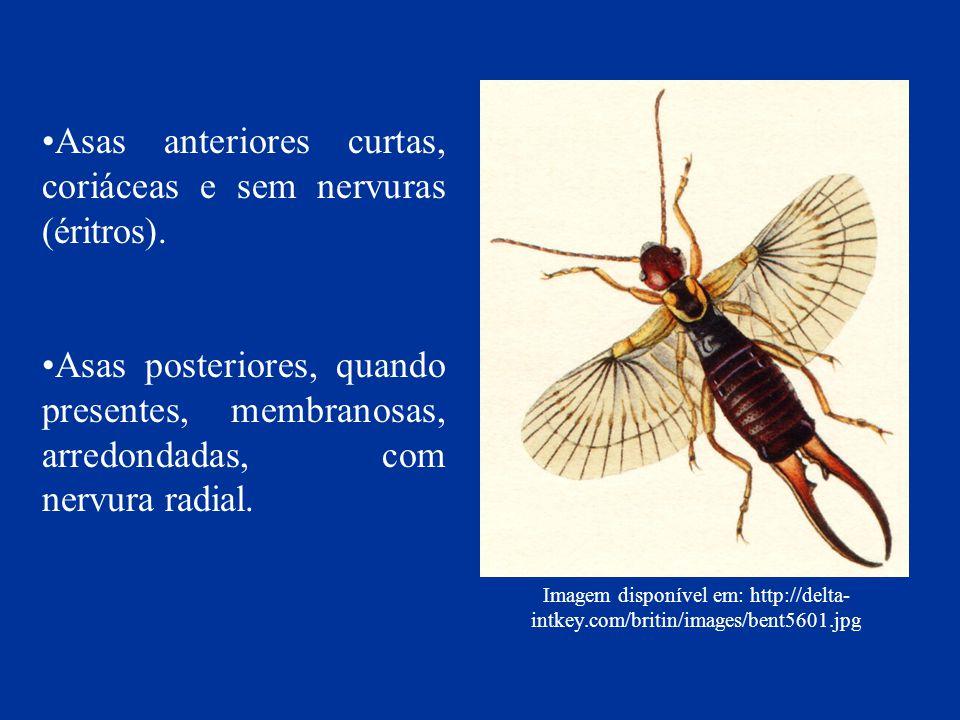 Imagem disponível em: http://delta- intkey.com/britin/images/bent5601.jpg Asas anteriores curtas, coriáceas e sem nervuras (éritros). Asas posteriores