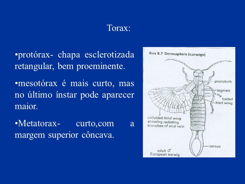 protórax- chapa esclerotizada retangular, bem proeminente. mesotórax é mais curto, mas no último ínstar pode aparecer maior. Metatorax- curto,com a ma