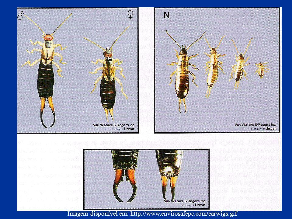 Imagem disponível em: http://www.envirosafepc.com/earwigs.gif