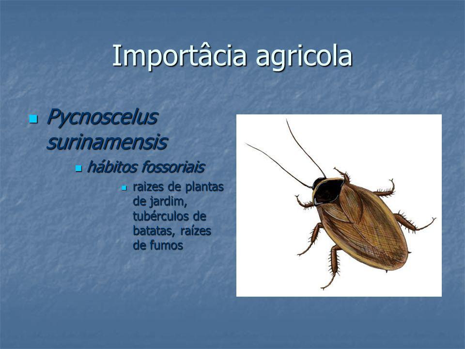 Importâcia agricola Pycnoscelus surinamensis Pycnoscelus surinamensis hábitos fossoriais hábitos fossoriais raizes de plantas de jardim, tubérculos de