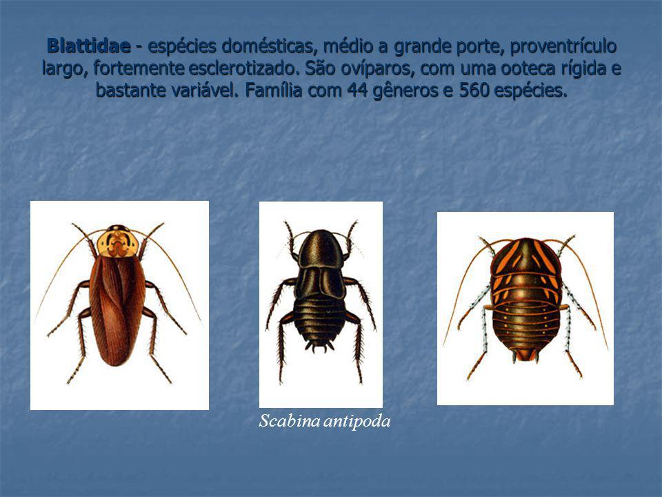 Blattidae - espécies domésticas, médio a grande porte, proventrículo largo, fortemente esclerotizado. São ovíparos, com uma ooteca rígida e bastante v