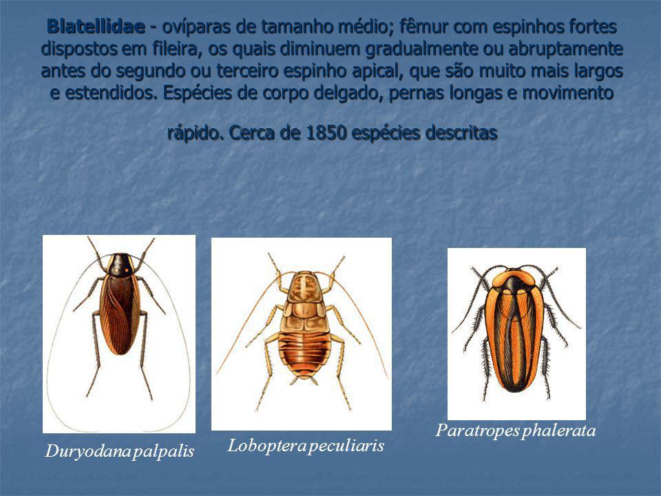 Blatellidae - ovíparas de tamanho médio; fêmur com espinhos fortes dispostos em fileira, os quais diminuem gradualmente ou abruptamente antes do segun