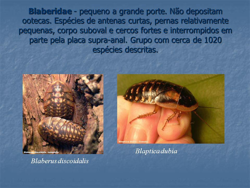 Blaberidae - pequeno a grande porte. Não depositam ootecas. Espécies de antenas curtas, pernas relativamente pequenas, corpo suboval e cercos fortes e