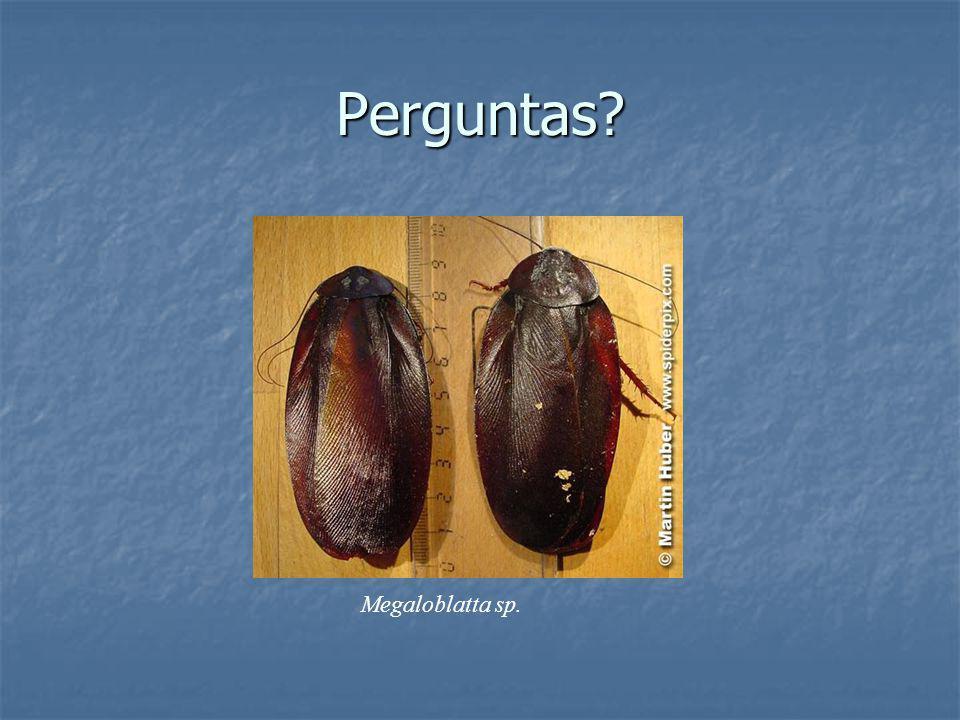 Perguntas? Megaloblatta sp.