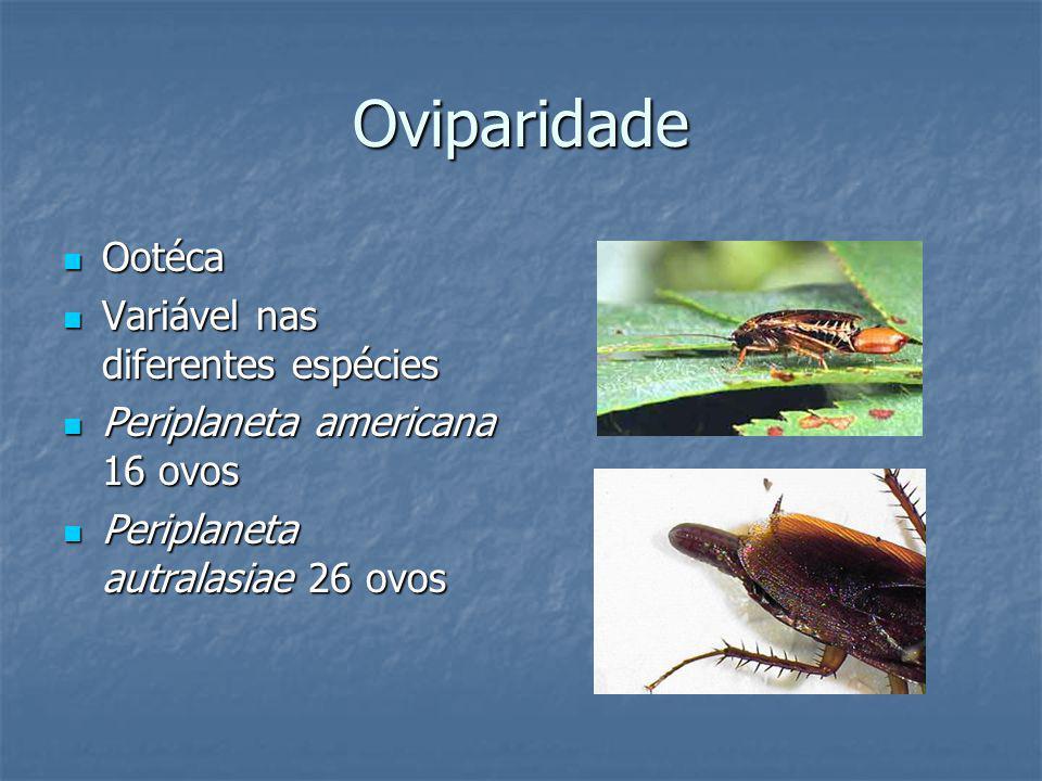 Blatellidae - ovíparas de tamanho médio; fêmur com espinhos fortes dispostos em fileira, os quais diminuem gradualmente ou abruptamente antes do segundo ou terceiro espinho apical, que são muito mais largos e estendidos.