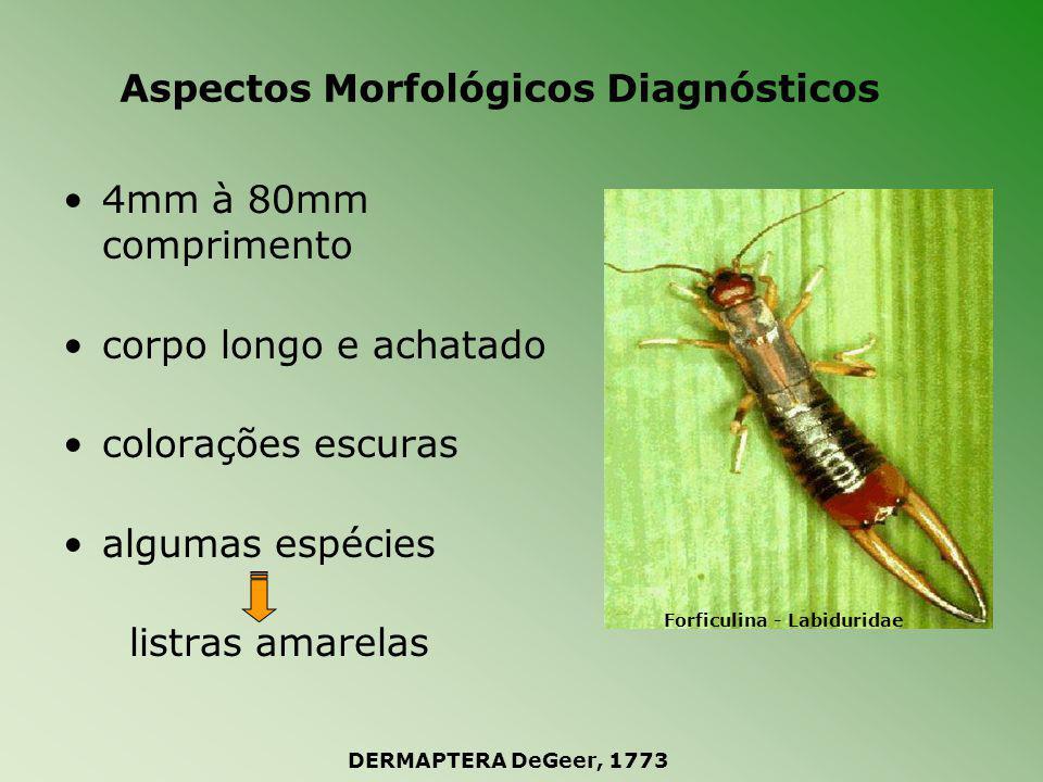 Aspectos Morfológicos Diagnósticos cabeça livre e prognata peças bucais mastigadoras olhos de tamanhos variáveis ou ausentes antenas filiformes moniliformes Dermaptera