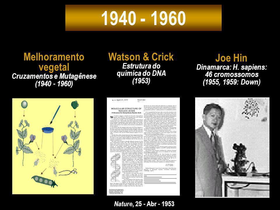 1940 - 1960 Nature, 25 - Abr - 1953 Watson & Crick Estrutura do química do DNA (1953) Melhoramento vegetal Cruzamentos e Mutagênese (1940 - 1960) Joe