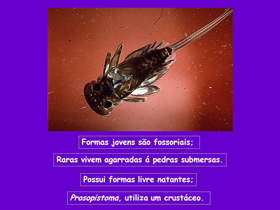 Formas jovens são fossoriais; Raras vivem agarradas á pedras submersas. Possui formas livre natantes; Prosopistoma, utiliza um crustáceo.