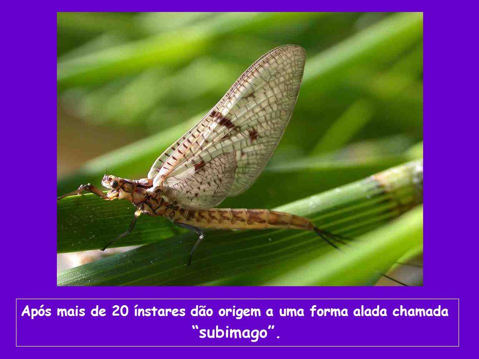 Após mais de 20 ínstares dão origem a uma forma alada chamada subimago.
