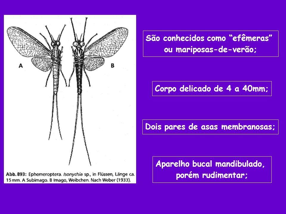 São conhecidos como efêmeras ou mariposas-de-verão; Corpo delicado de 4 a 40mm; Dois pares de asas membranosas; Aparelho bucal mandibulado, porém rudi