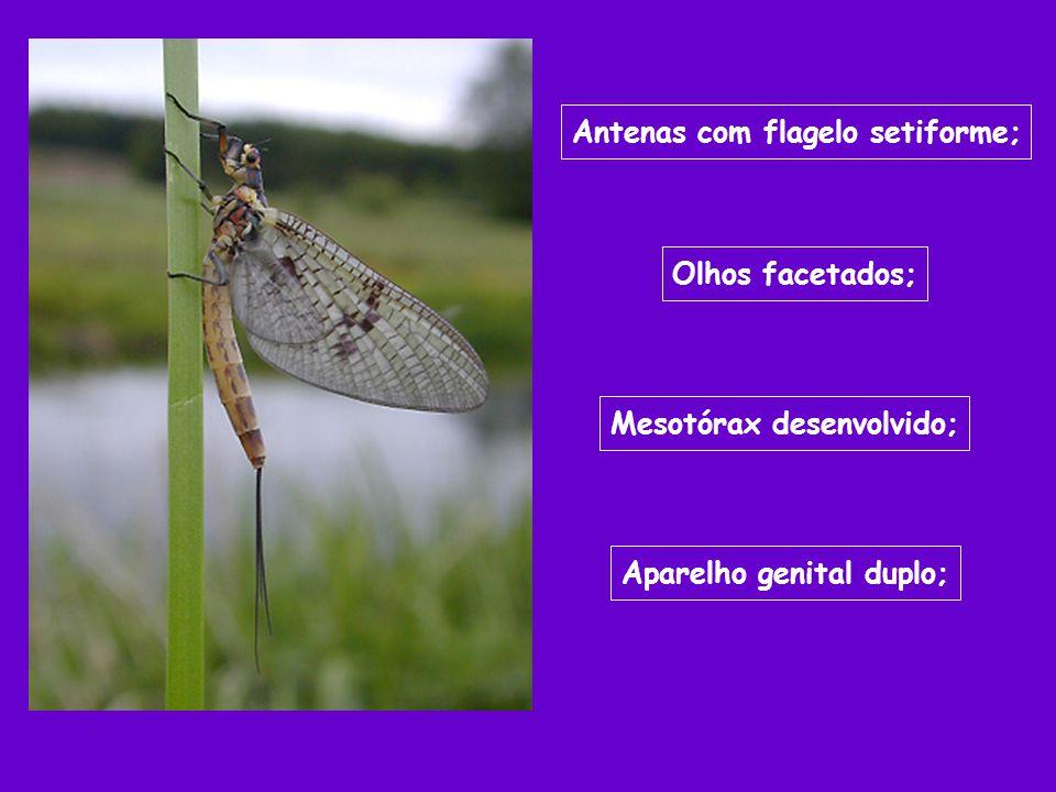 Antenas com flagelo setiforme; Olhos facetados; Mesotórax desenvolvido; Aparelho genital duplo;