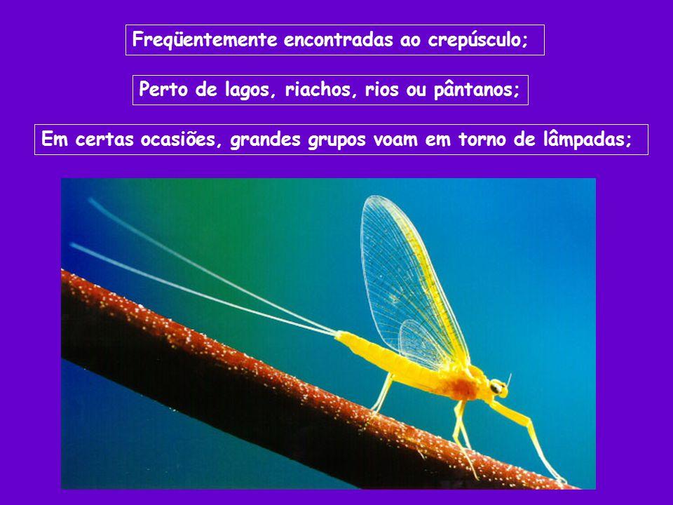 Freqüentemente encontradas ao crepúsculo; Perto de lagos, riachos, rios ou pântanos; Em certas ocasiões, grandes grupos voam em torno de lâmpadas;