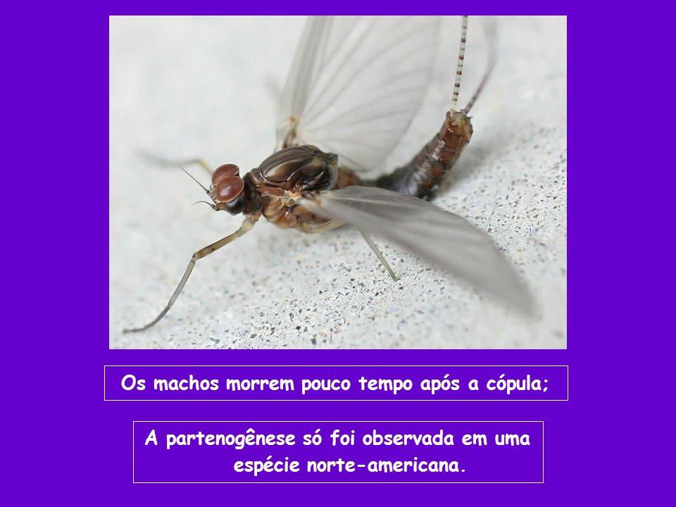 Os machos morrem pouco tempo após a cópula; A partenogênese só foi observada em uma espécie norte-americana.