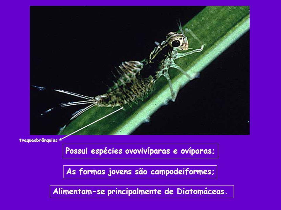 Possui espécies ovovivíparas e ovíparas; As formas jovens são campodeiformes; Alimentam-se principalmente de Diatomáceas. traqueobrânquias