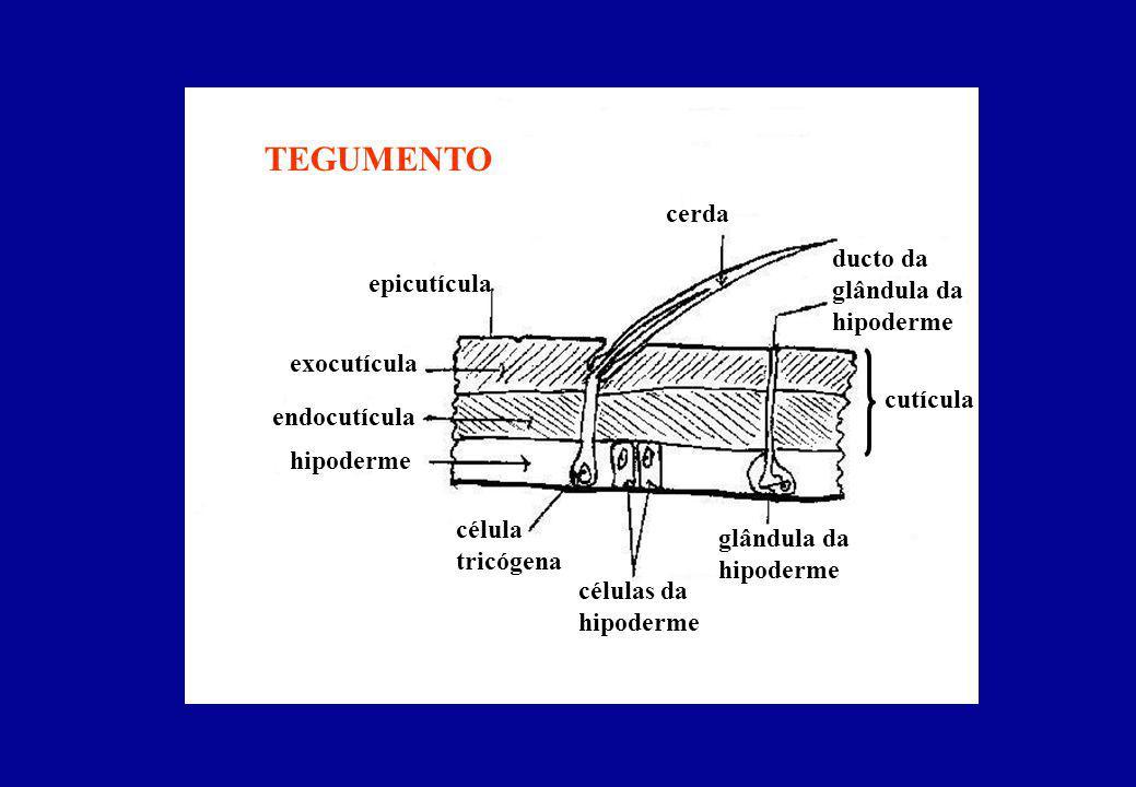 SEGMENTAÇÃO C P P A1A1 A2A2 Tagmose (20 somitos): - Cabeça (6) - Tórax (3) - Abdome (11)