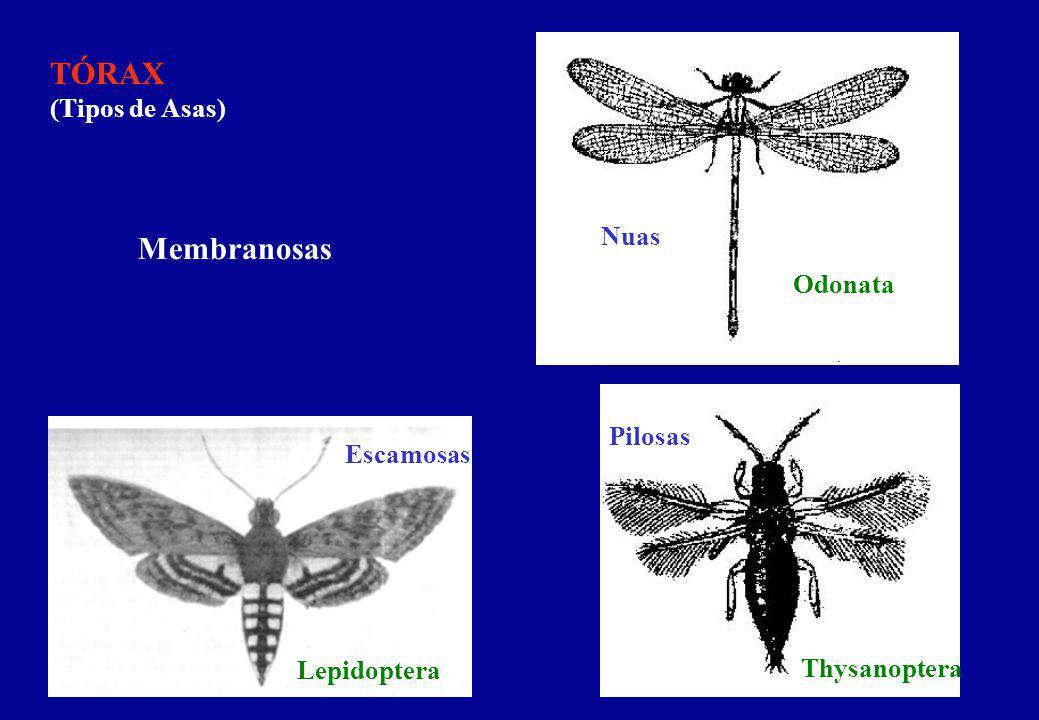 TÓRAX (Tipos de Asas) Coriácea Pergamináceas Tégminas - Ant. Coleoptera Blattaria Ensifera