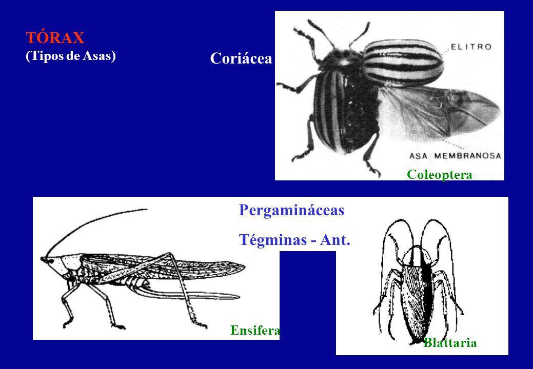 TÓRAX (Tipos de Asas) Halteres Hemiélitro Diptera Heteroptera CL