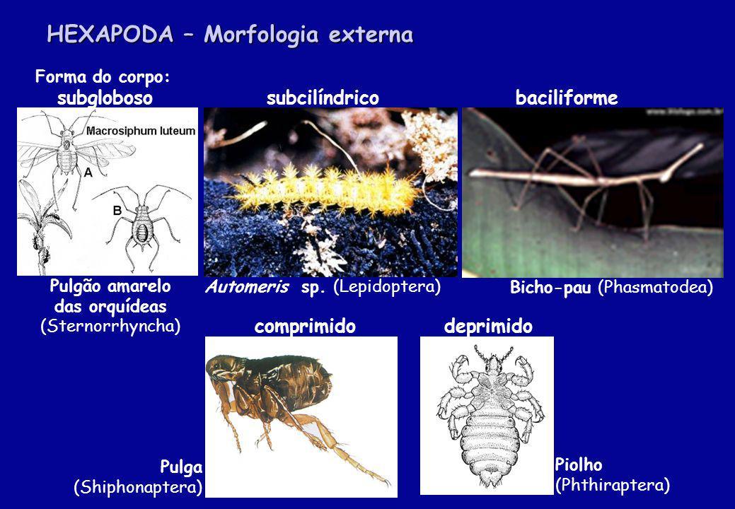 Tamanho De frações de milímetros a mais de 300 mm de comprimento (incluindo o volume do corpo e a envergadura das asas) Exemplos de pequenos insetos: Microhimenópteros das famílias Scelionidae - Telenomus sp.